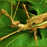 Un insecto de más de medio metro deja estupefactos a los científicos
