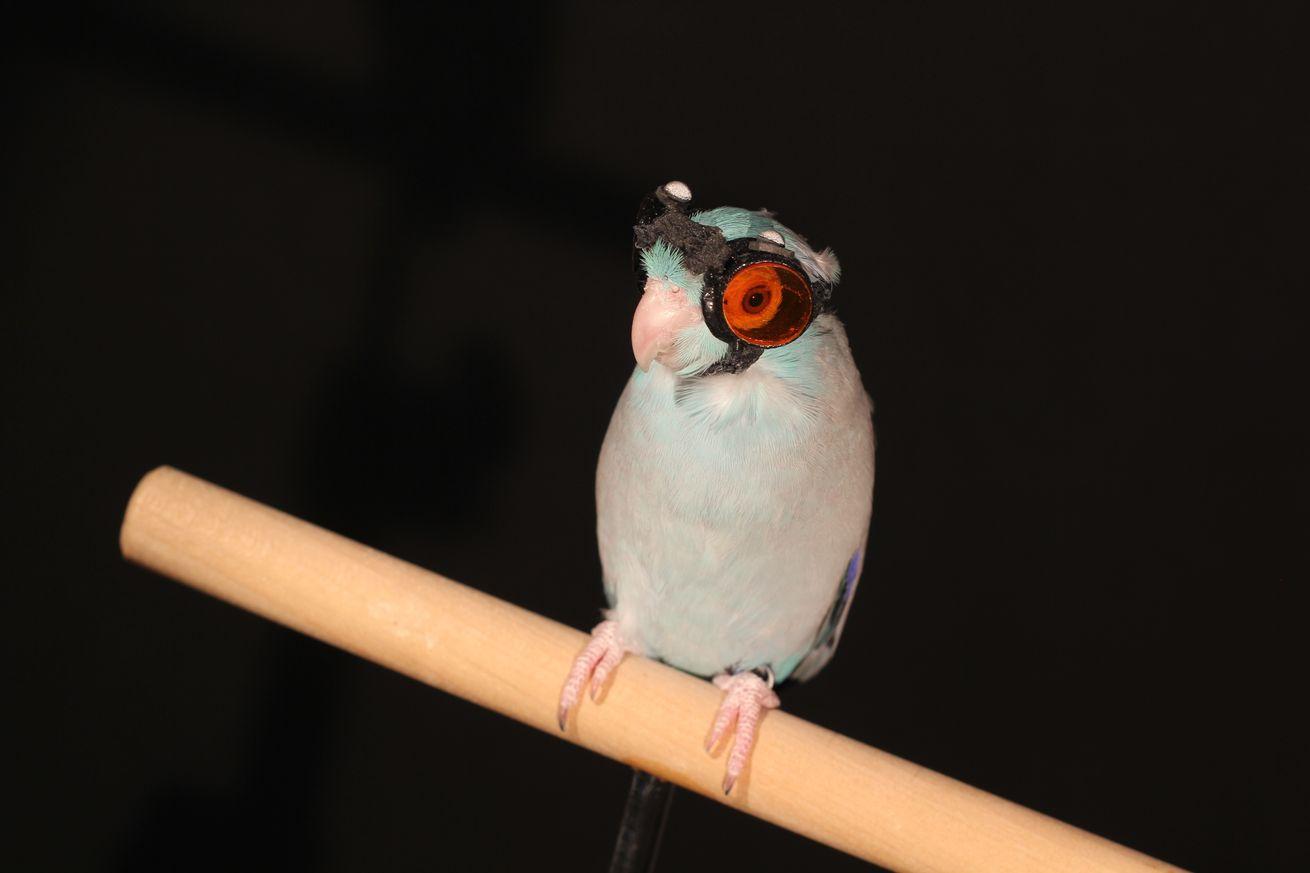 Valiente pájaro lleva gafas y vuela a través de un láser para la ciencia